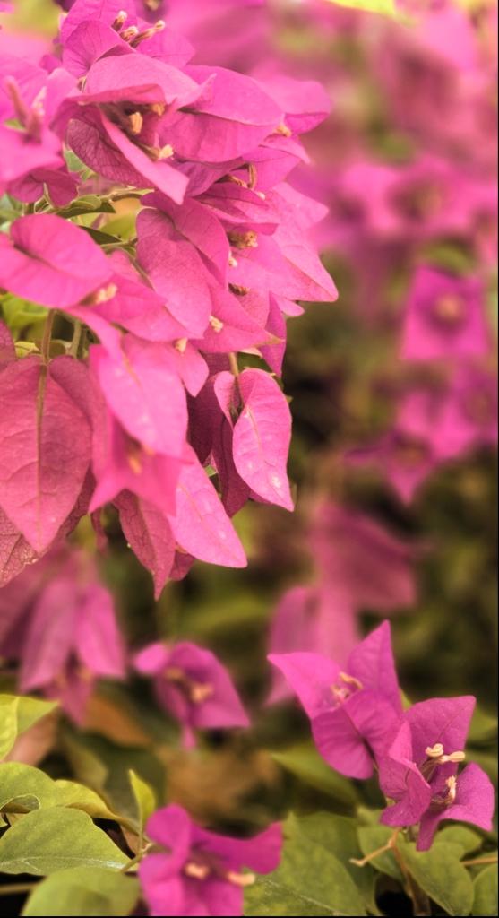 Ali radwani pink red flowers photo Photography