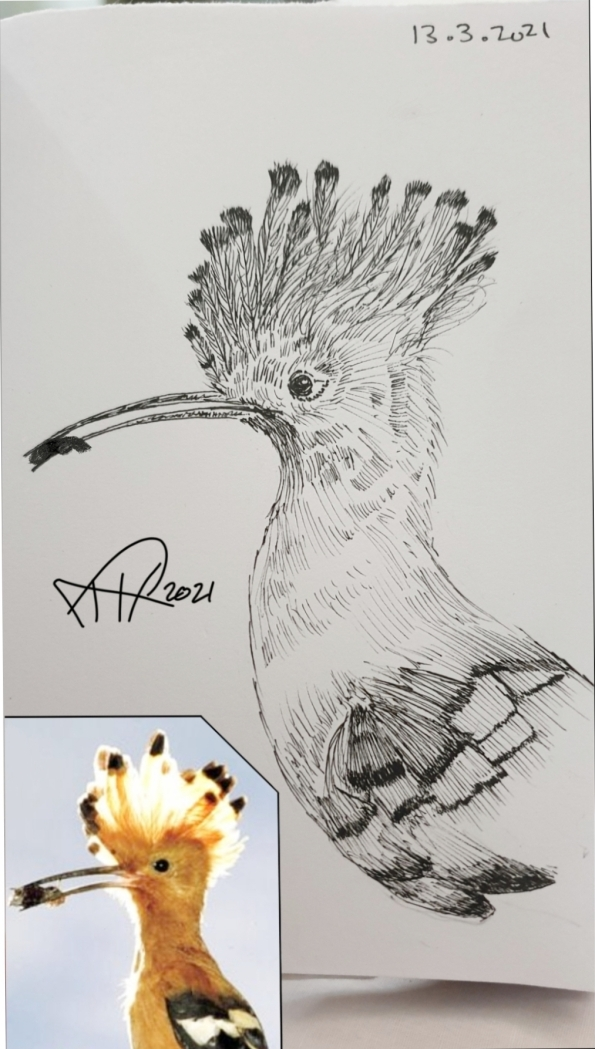 ali  radwani drawing sketch sketchbook hoopoe bird pen pencil